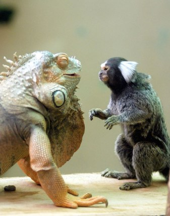 This marmoset and iguana bust each other up (earthporm.com)