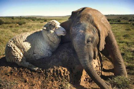 This sheep and elephant are BFFs (earthporm.com)