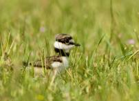 Young Killdeer - by Ryk Naves (unsplash.com)