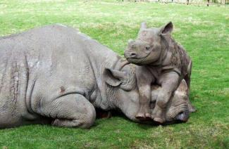 Baby Rhino and Mother (stylearena.net)