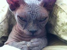 Hairless Cat Plotting Total World Dominance - pleasuretohaveinclas (boredpanda.com)