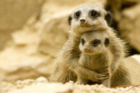 'Meerkat with Baby' (stylearena.net)