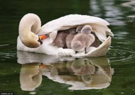 'Mommy Duck with Chicks' (stylearena.net)