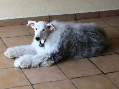 'Note to self - Next time have the whole sheepdog shaved, and not just his head' - StaceyLades (boredpanda.com)