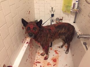 'Tomato sauce removes skunk odor--it also makes your dog look like a mass murderer' wolfinsheeps (boredpanda.com)