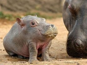 Turns out baby hippos look a lot like frogs (comic-news)