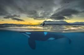 Killer Whale, Norway (buzzerilla.com)