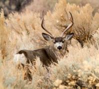 'Mule Deer' by Alison Hardenburgh (northerndesertphotography.com)