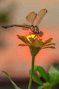 Sunset Dragonfly by © iwan pruvic (500px.com)