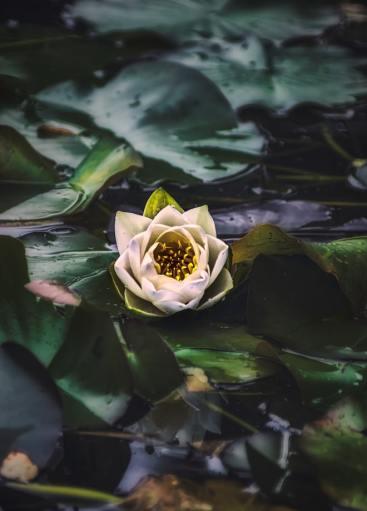'Water Lily' by K. Mitch Hodge (unsplash.com)