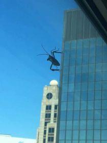 Attack of the Giant Katydid! (piximus.net)