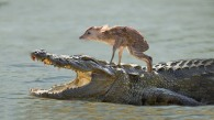 Carnivorous Equestrian Event (Note-amazingly, this alligator actually transported the fawn safely across the river)