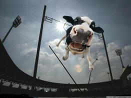 Cow Vaulting