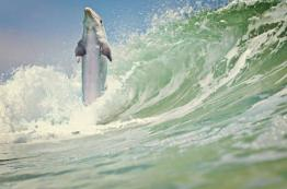 Dolphins are the High Jump record-holders of the ocean (up to 10 feet above the water) (animalwish.com)
