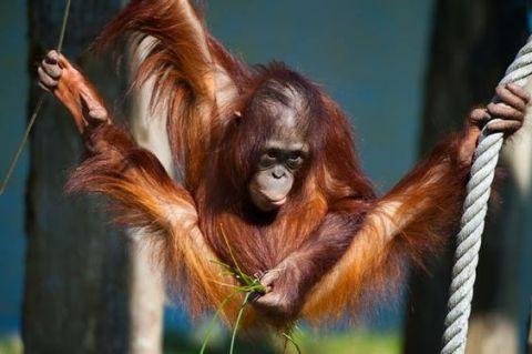 Gymnastics, Orangutan Division (pinterest.com)