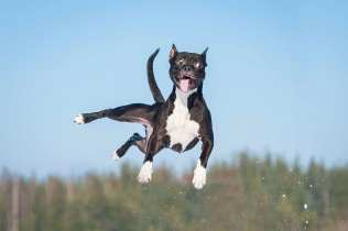 High Jump, K9 Division (photo by Bec Heim - filmdaily.co)