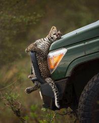 Hitchhiking, Leopard Division (Bern Ack - pinterest.com)