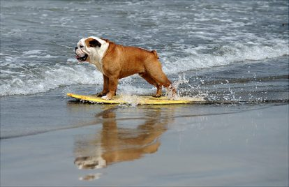 A dog participates at the 3rd Annual Loews Coronado Bay Resort surf dog competition in Imperial Beach, south of San Diego, California, on June 28, 2008. This is the largest surfing competition for dogs. AFP PHOTO/Gabriel BOUYS (Photo credit should read GABRIEL BOUYS/AFP/Getty Images) Original Filename: 81755249.jpg