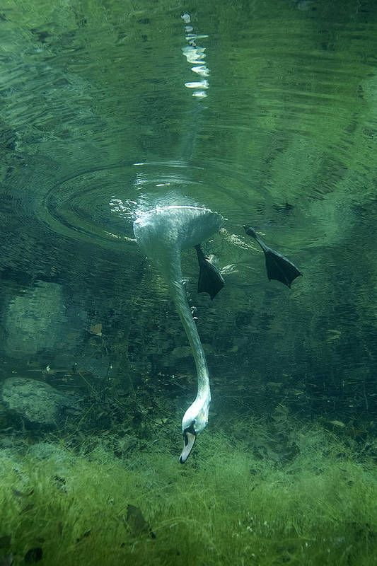Swimming Acrobatics (swans dominate in this event) - photo by Viktor Lyagushkin at ca.fineartamericom
