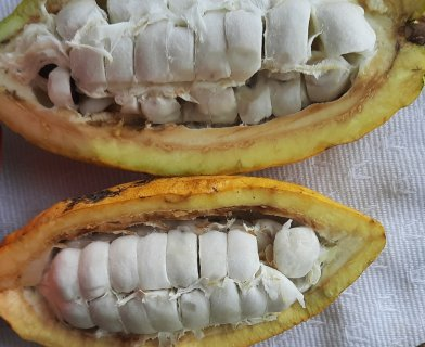 These teeth need flossing! (actually, they're cocoa bean pods)