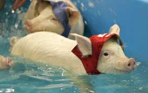 Piglets swim after being thrown into the water in Moscow Saturday April 15, 2006. Piglets from seven countries took part in Pig Olympics competing in running, swimming and svinoball - a soccer ball game played with the pig's snout. (AP Photo/Ivan Sekretarev) Original Filename: AP060415016009.jpg