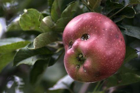 Apple buddy (flickr.com)