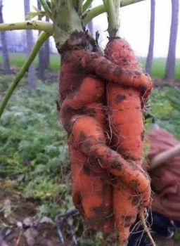Comforting Carrots - Remedy Roots (twitter.com)
