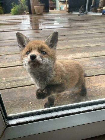 'This Tiny Fox Has Been Visiting Our Garden Every Day And Wants To Be Friends' -Badders00 (boredpanda.com)