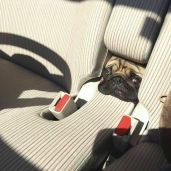 And for a small additional charge, the seats come with a built-in pug feature - doggo_taxi (boredpanda.com)