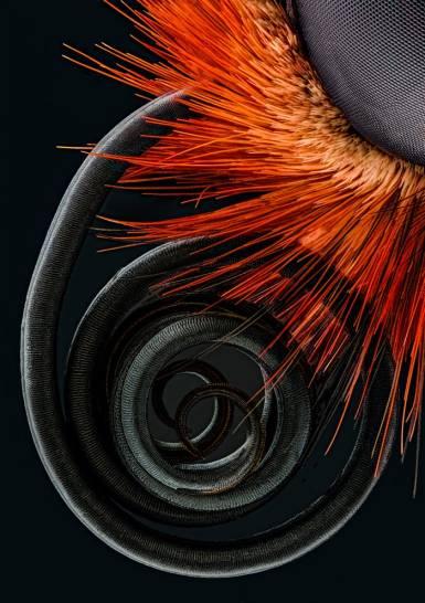 Butterfly proboscis - Jochen Schroeder (nikonsmallworld.com)