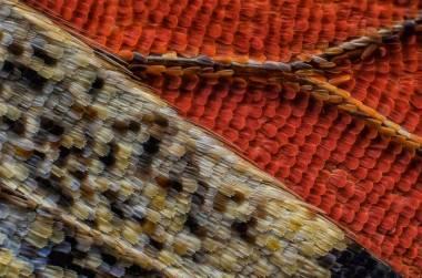 Butterfly's underside wing scales - Francis Sneyers (nikonsmallworld.com)