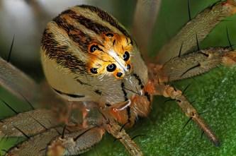 Female Lynx Spider (oxyopes dumonti) (nbcnews.com)