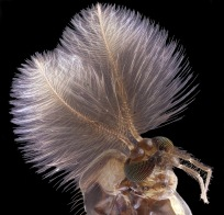 Male mosquito - what female could resist this coiffure - Jan Rosenboom (nbcnews.com)