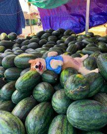 Melon Bead - doggo_taxi (boredpanda.com)