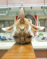 Rare 3-eared cat breed - doggo_taxi (boredpanda.com)