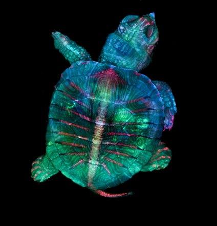 Turtle embryo - Teresa Zgoda and Teresa Kugler (nbcnews.com)