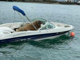 'Yo, babe, I am THE walrus!' - doggo_taxi (boredpanda.com)