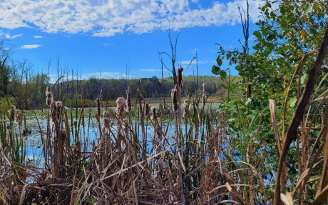 Cuyahoga Valley National Park - Beaver Marsh cattails