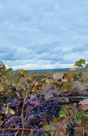 Seneca Lake vineyard close-up